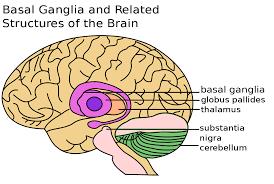 عقده های قاعده ای Basal Ganglia