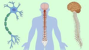 پاورپوینت سیستم عصبی Nervous System